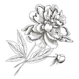 Peony.Sketch black and white Stock Photography