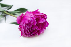 Peony. Some peonies on the white wood Royalty Free Stock Photos