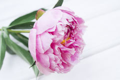Peony. Some peonies on the white wood Stock Image