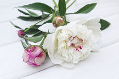 Peony. Some peonies on the white wood Royalty Free Stock Photo