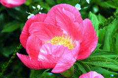 Peony Royalty Free Stock Photography