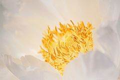 Peony stamen. Peony flower and flower seed is the most concentrated part of peony growth, so it is the essence of peony essence, nutrition and rich, it is also stock photography