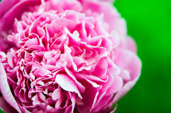 Peony in the summer Royalty Free Stock Images