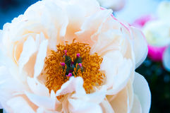 Peony in the summer Stock Photography