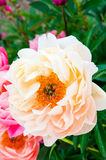 Peony in the summer Royalty Free Stock Photography