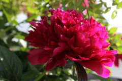 Peony in the sunlight Stock Photography