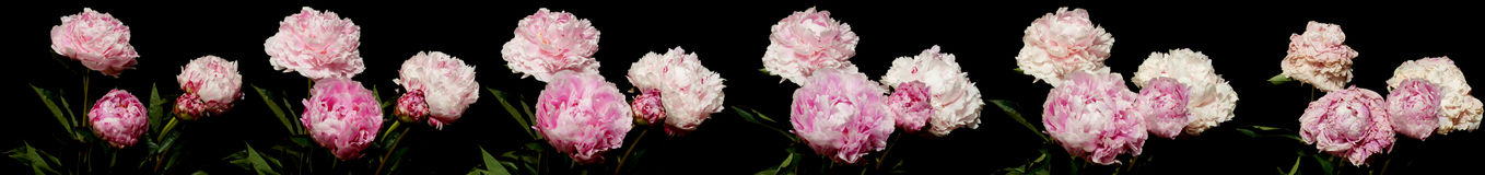 Peony Time Lapse. Pink peony time lapse series. Studio shot over black Royalty Free Stock Photo