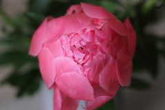 Peony about to bloom royalty free stock images