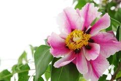 Peony tree. Big pink flower  Peony Tree, copy space Royalty Free Stock Photos