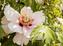 Peony tree Royalty Free Stock Image