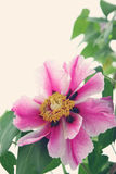 Peony tree Royalty Free Stock Photography