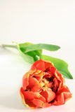 A peony tulip. An orange peony tulip with lots of petals stock image