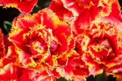 Peony tulip Stock Image