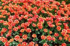 Peony tulip Stock Photos