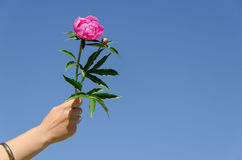 Peony twig in female hand on blue sky background Stock Photos