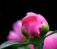 Peony and two ants Stock Photos