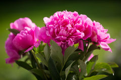 Peony in vase , green background Royalty Free Stock Photos