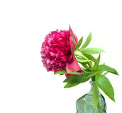 Peony in vase. Isolated on white royalty free stock images