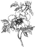 Peony. Vintage style peony. Hand drawn engraving illustration Stock Images