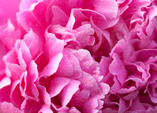 peony with waterdrops close up Royalty Free Stock Images