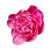 Peony on the White Background Stock Photography