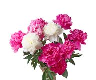 Peony on the White Background Royalty Free Stock Photos