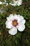 Peony. White beautiful peony, spring bloom Stock Images