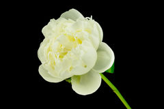 Peony White Stock Photo