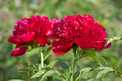 Peonys-Blume lizenzfreies stockfoto