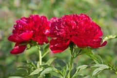 Peonys kwiat zdjęcie royalty free
