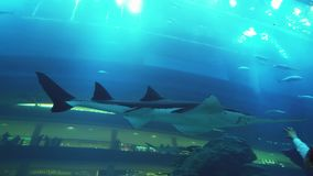People admire the marine life in the glass tunnel of the Aquarium in Dubai Mall stock footage video. Dubai, UAE - April 09, 2018: People admire the marine life stock footage