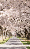 People on alley under blossoming cherry trees Royalty Free Stock Image