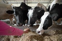 People and animal husbandry concept - farmer hand feeding cow with hay in cowshed at dairy farm. Agriculture industry, farming, people and animal husbandry stock images