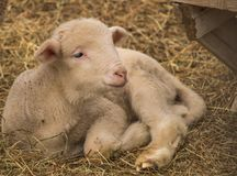 Baby goat. People and animals stock image