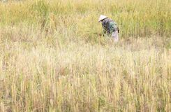 People asian farmer Harvest of the rice field in season harvest stock images