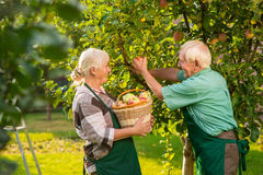 People with basket picking apples. Elderly gardeners couple. Gardening tips for beginners Royalty Free Stock Photography