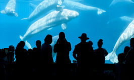 People and Beluga whale Stock Images