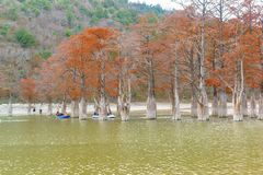 People boating on the lake, sukkah next to the growing Taksodium two-rowed, or Swamp cypress lat. Taxodium distichum Stock Photo