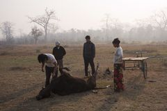People bringing by tricycle cow carcass for vultures, Lumbini, Nepal Stock Photos