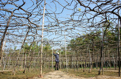 People care vine at vine garden. PHAN RANG, VIETNAM- JAN 24: People care vine at vine garden, he working under frame that shed leave, branch of creeper make Royalty Free Stock Photo