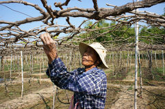 People care vine at vine garden. PHAN RANG, VIETNAM- JAN 24: People care vine at vine garden, he working under frame that shed leave, branch of creeper make Stock Image