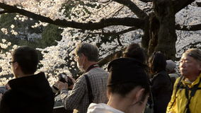 People celebrating the cherry blossom at Kudanishita in Tokyo stock video footage