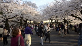 People celebrating the cherry blossom at Kudanishita in Tokyo stock footage