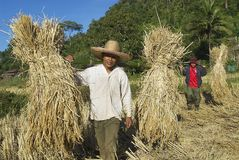 People of Chan hill tribe harvest rise in Chiang Mai, Thailand. Stock Image