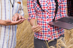 People checking wheat grains Stock Photography