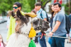 People of Chile. SANTIAGO, CHILE - NOV 1, 2014:  Unidentified Chilean man hugs a lama in the street. Chilean people are mainly of mixed Spanish and Amerindian Royalty Free Stock Photography