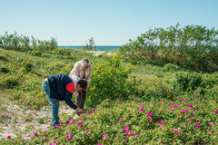 People collect leaves of wild rose. Men and women gather wild rose leaves Stock Photography