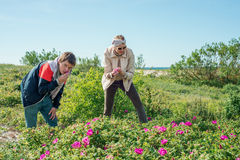 People collect leaves of wild rose. Men and women gather wild rose leaves Royalty Free Stock Photos