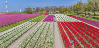 People in a colorful tulips field. In The Netherlands stock image