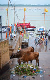 People with cows on river bank of Ganges in Varanasi, India.  Royalty Free Stock Photos